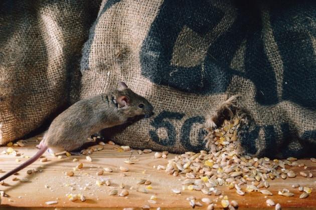 Uomini e topi convivono da 15 mila anni
