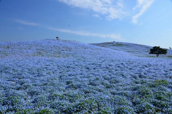 nemophila-blooms-hitachi-seaside-park-blue-flowers-6