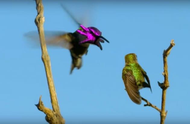 La danza tentacolare del colibrì