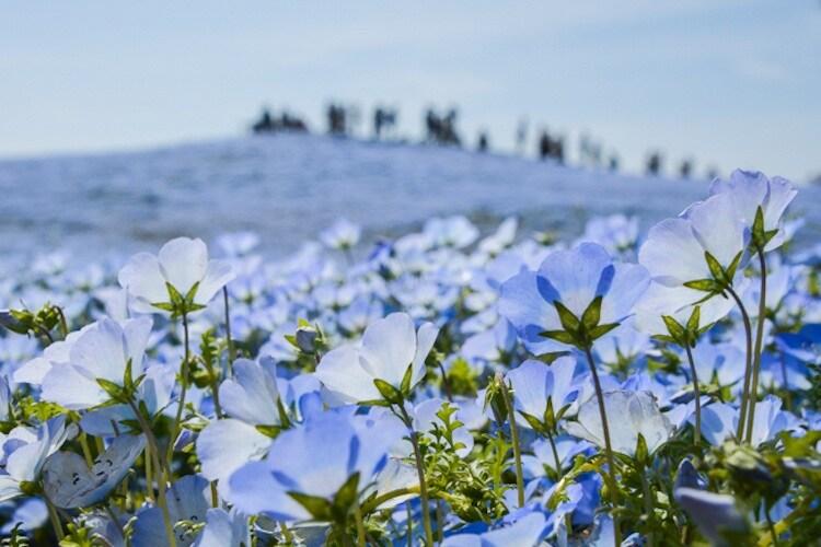 nemophila-blooms-hitachi-seaside-park-blue-flowers-10