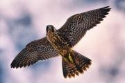 Per abbattere un drone, pensa come un falco