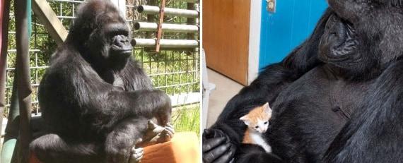 gorilla, koko, francine patterson, gorilla foundation, lingua dei segni
