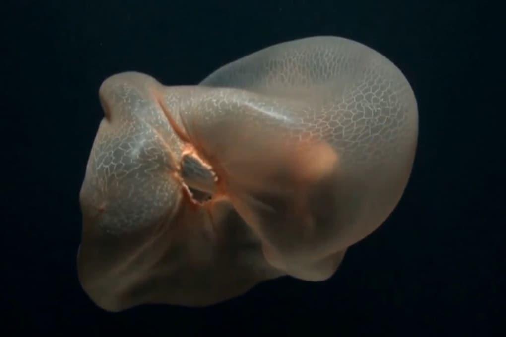 La medusa senza tentacoli che sembra un sacchetto di plastica