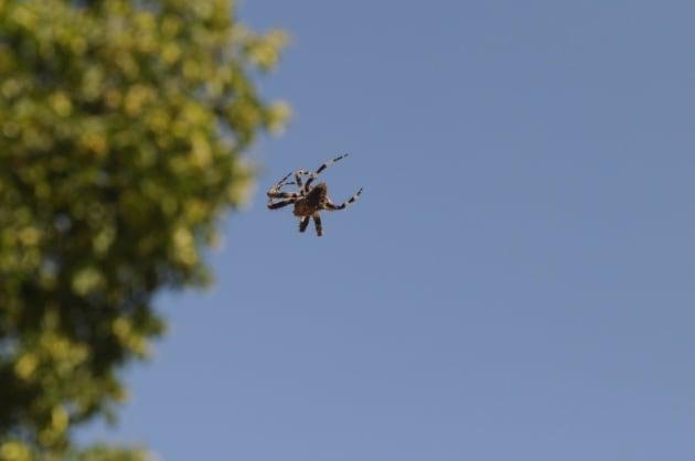 Come fanno i ragni a spiccare il volo