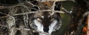 lupo grigio chernobyl radiattivo mutazioni migrazioni