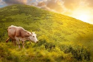 editing genetico e mucche