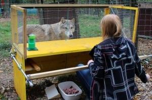Un lupo durante un test.