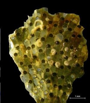 Mediterraneo, biodiversità, Watersipora sp., specie invasive