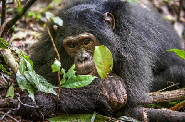 Anche gli scimpanzé si ammalano di Alzheimer