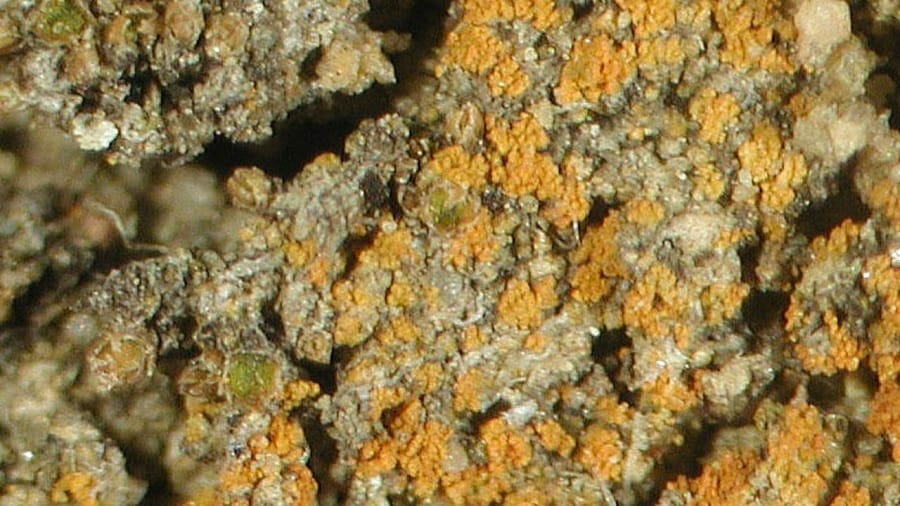 licheniobama