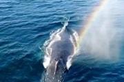 balena_arcobaleno_cali