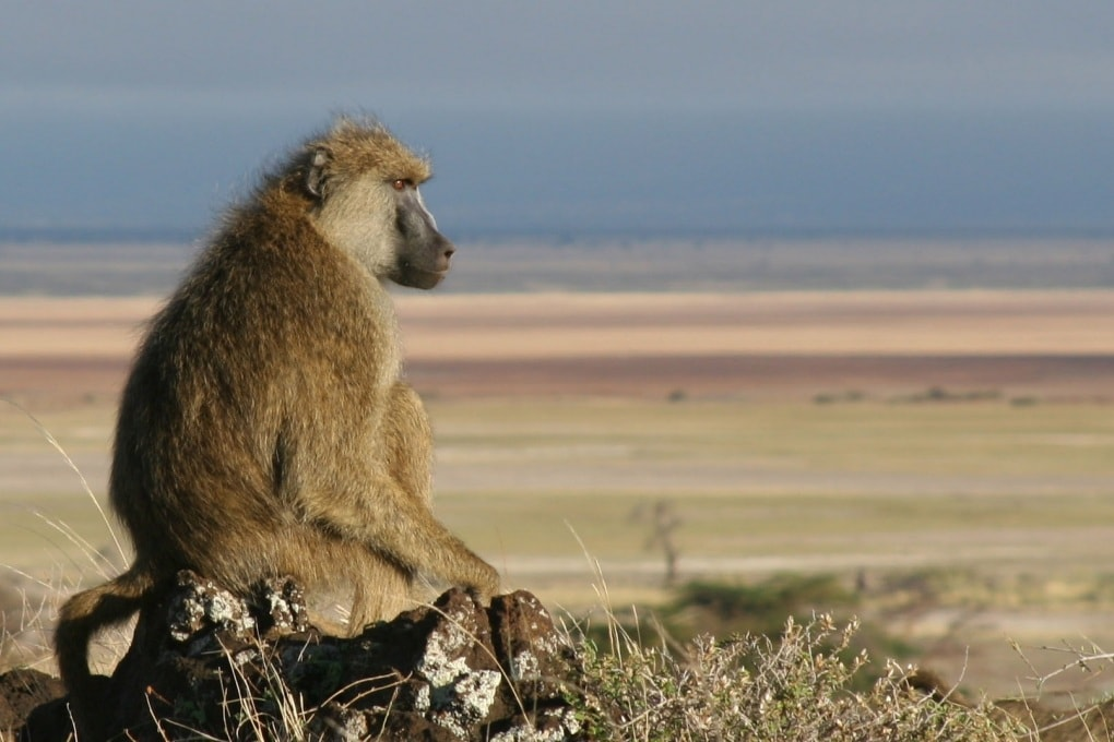 La violenza domestica dei babbuini