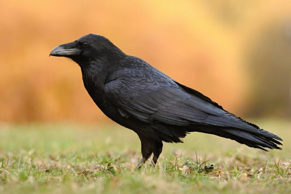Anche i corvi fanno piani per il futuro