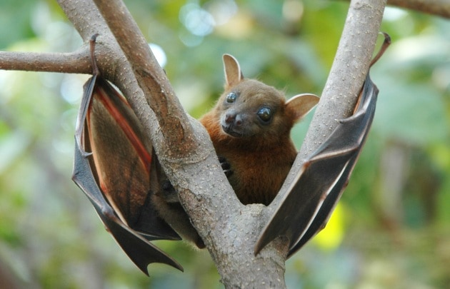lesser_short-nosed_fruit_bat_cynopterus_brachyotis