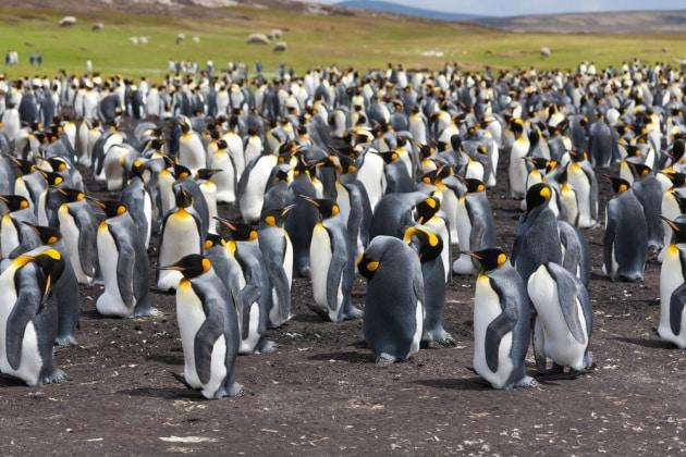 Pinguino reale: in un arcipelago dell'Oceano Indiano la più grande colonia esistente è al collasso