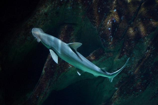 Il primo squalo quasi vegetariano - Contorno squalo martello ...