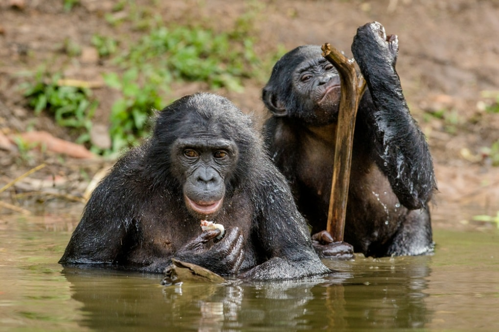 L'intelligenza delle scimmie? Sottovalutata