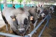 Animali: petizione online contro consumo antibiotici in allevamenti