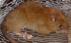 Il ratto gigante delle Salomone