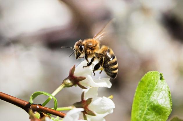 Neonicotinoidi: l'EFSA conferma i rischi per le api