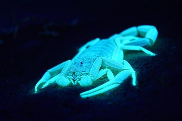 L'attacco dello scorpione più letale al mondo