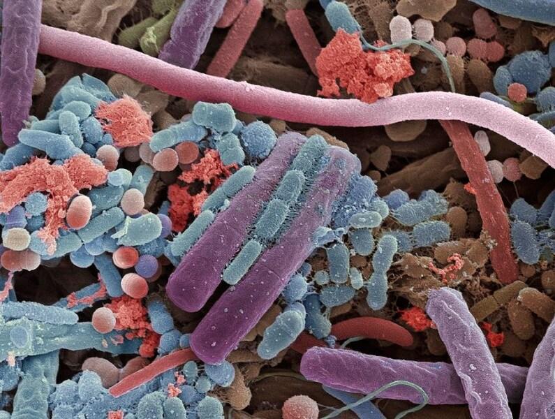 batteri-lingua