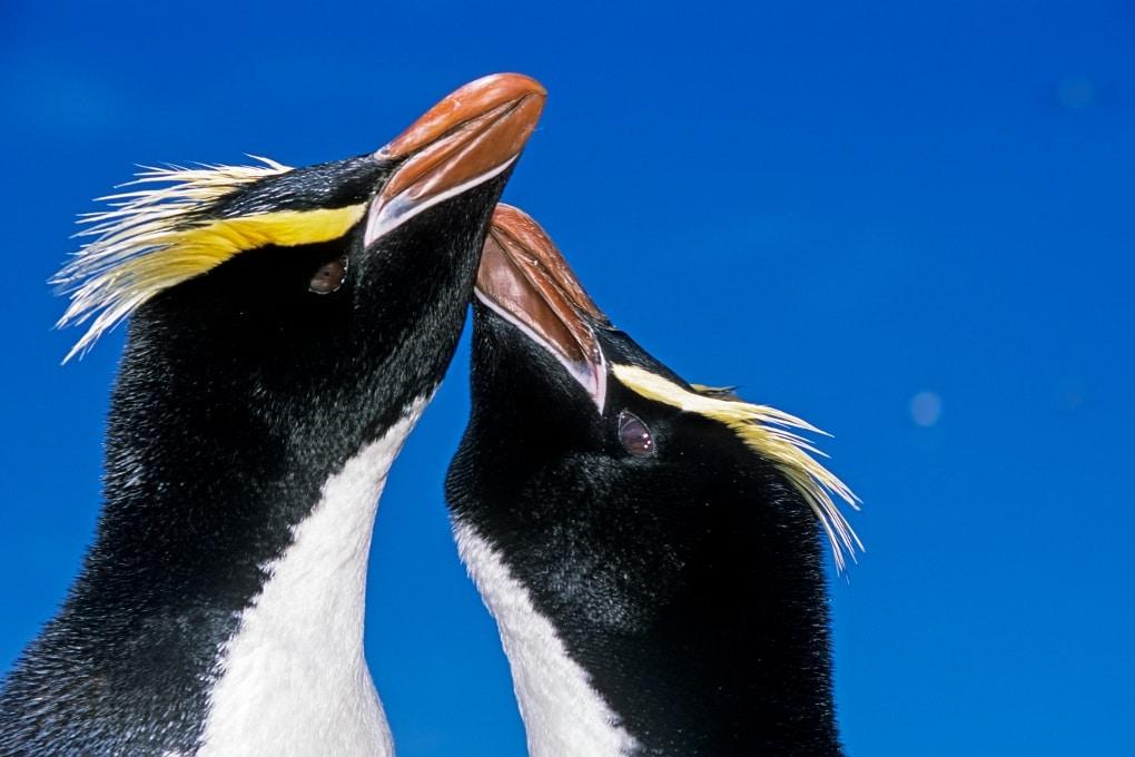 I pinguini sono monogami?