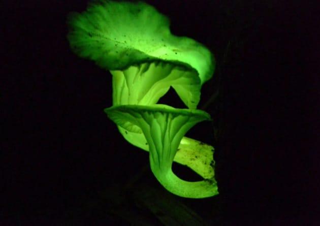 Come fanno i funghi a brillare al buio