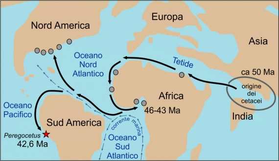 paleontologia, geologia, fossili, cetacei, archeoceti, Peregocetus pacificus, balene, delfini