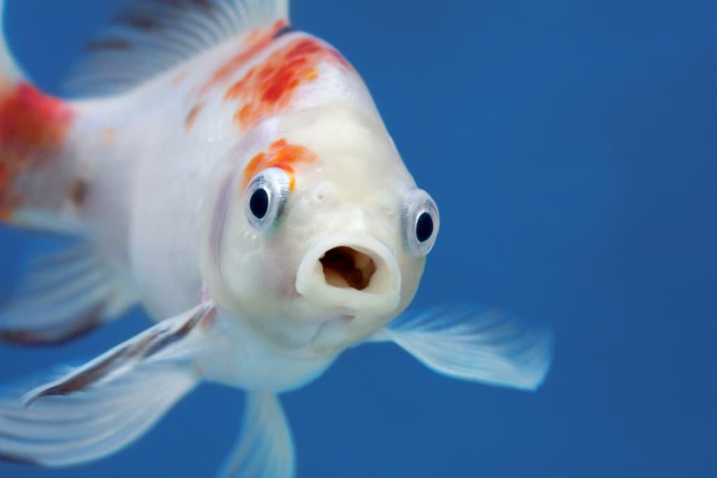 Anche i pesci provano dolore