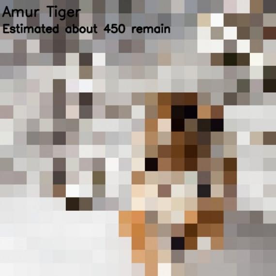 tigre dell'Amur (<i>Panthera tigris altaica</i>)