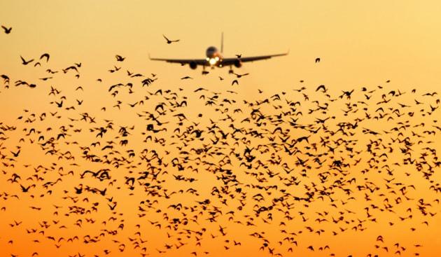 bird-strike-aerei
