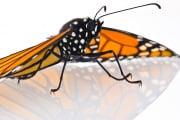 farfalla-monarca