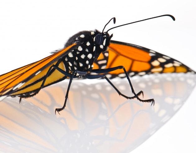 Velenose come farfalle monarca: la CRISPR che rende indigeste le drosofile