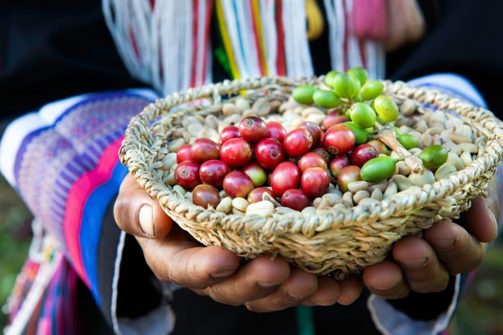 Caffè: il 60% delle varietà selvatiche è a rischio estinzione