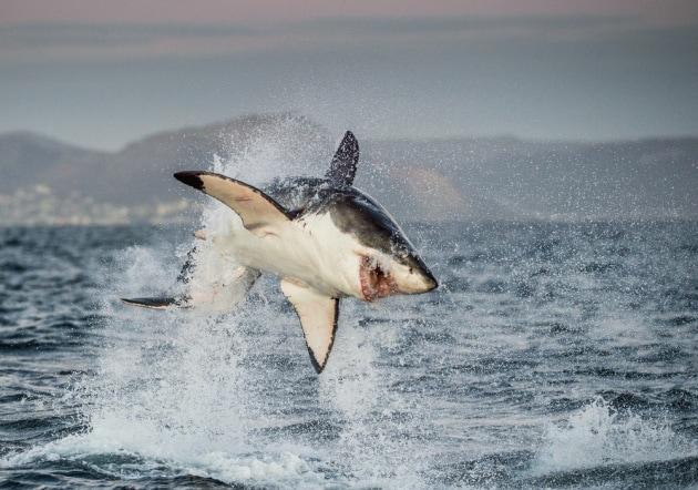 grande-squalo-bianco