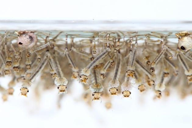Le zanzare contribuiscono alla diffusione di microplastiche nella catena alimentare