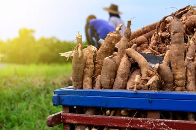 L'editing genetico contro i virus delle piante di manioca ha avuto un effetto boomerang