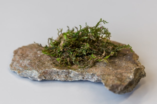 Un tipo di muschio potrebbe avere proprietà terapeutiche migliori di quelle della cannabis