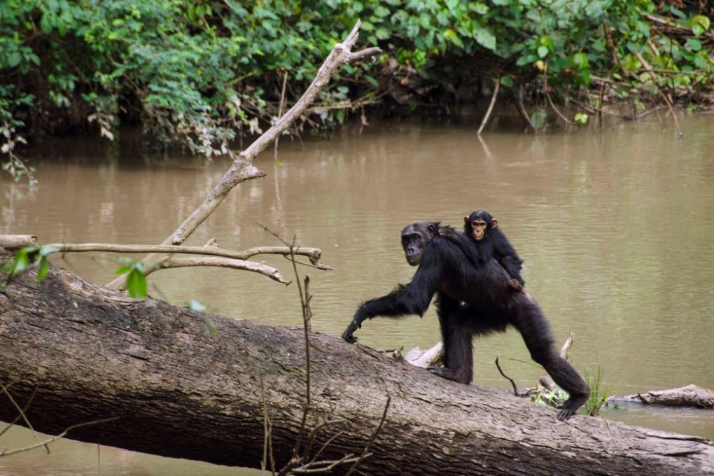 Le madri scimpanzé adottano mosse politiche per difendere i figli