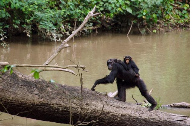 scimpanze-madri