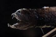 denti-pesce-abissale