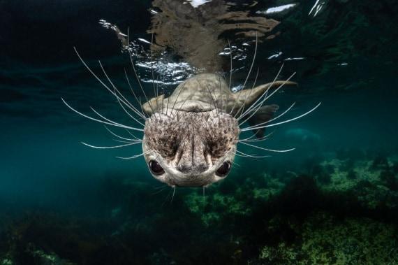 Ocean Art Competition, Halichoerus grypus, foca grigia