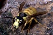 vespa-bicolor_calabrone-bicolore