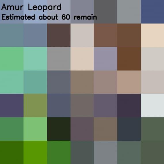 leopardo dell'Amur (<i>Panthera pardus orientalis</i>)