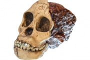 australopithecus-africanus_shutterstock_726532726