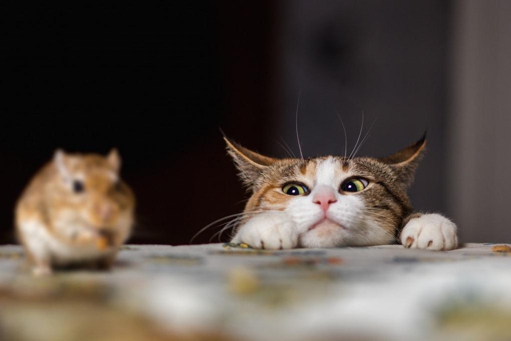 Gatti contro ratti: sicuri di sapere chi vince?