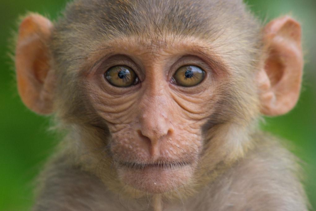 In Cina: un altro controverso esperimento sui macachi