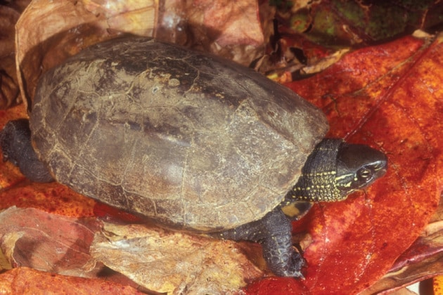Il sesso delle tartarughe e i cambiamenti climatici