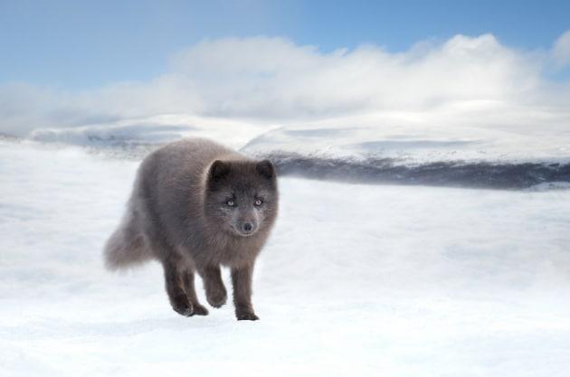 Dalla Norvegia al Canada in 76 giorni: l'epico viaggio di una volpe artica